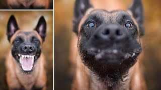 Funny BELGIAN MALINOIS Compilation