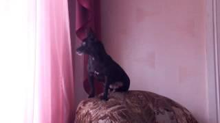 Собака смотрит в окно.