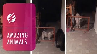 Hilarious Dog Can't Get Through Open Gate
