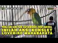 Pendatang Baru Yang Siap Menembus Event Nasional Inilah Aksi Konslet Lovebird Mahabarata  Mp3 - Mp4 Download