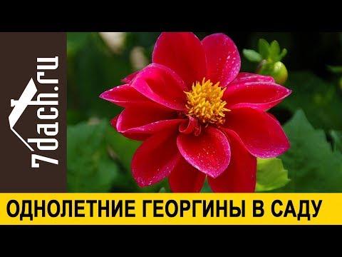 🌸 Весёлые ребята в саду: как посадить и вырастить однолетние георгины - 7 дач