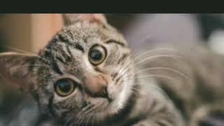 Suara Kucing Minta Tolong 100 Kucing Anda Bingung Sekali