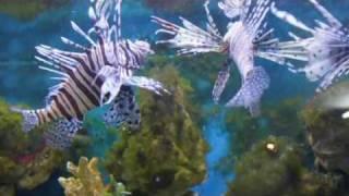 Кормление крылатки и рыбы ежа