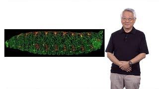 Yuh-Nung Jan (UCSF/HHMI) 1: How Does a Neuron Develop its Dendritic Morphology? thumbnail