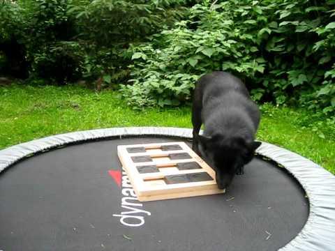 Schipperke Essi playing Dog Brick Game