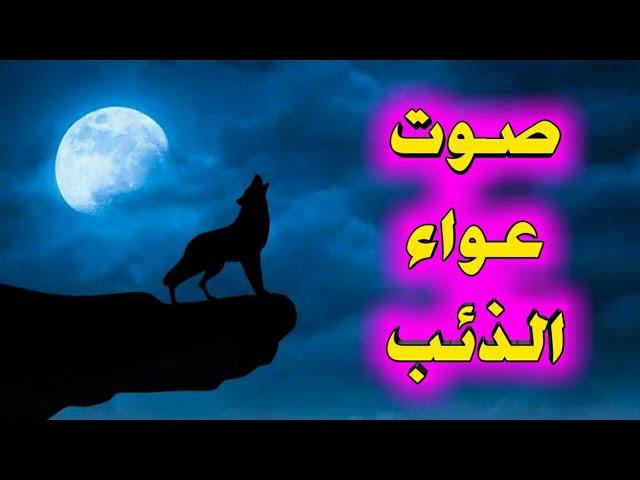 صوت عواء الذئب صوت مخيف وفي نفس الوقت غريب Youtube