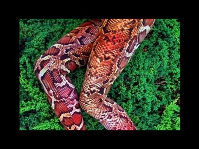 ROB COOK WILLIAMS:   Snakeskin