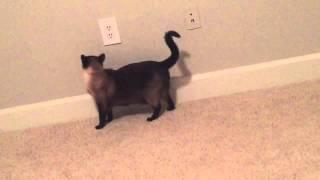 (B) Лучший Брейк - Данс от Сиамской кошки Келлюси =^..^= СИАМСКИЕ КОШКИ