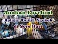 Anakan Lovebird Belajar Bunyi Ngekek Di Sore Hari Kicau Series  Mp3 - Mp4 Download