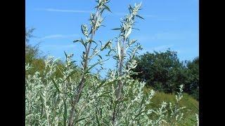 Wild Herbs : Mugwort (Artemisia vulgaris)