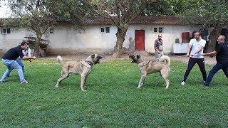 KANGAL'A GÜÇ TESTİ YAPALIM DEDİK 4 KİŞİYİ YERDE SÜRÜNDÜRDÜLER (Anadolu çoban köpeği Test)Türk Aslanı