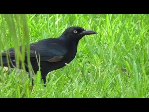 Great-tailed Grackle.