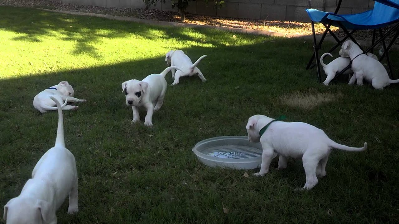 Dogo argentino puppies for sale. - YouTube