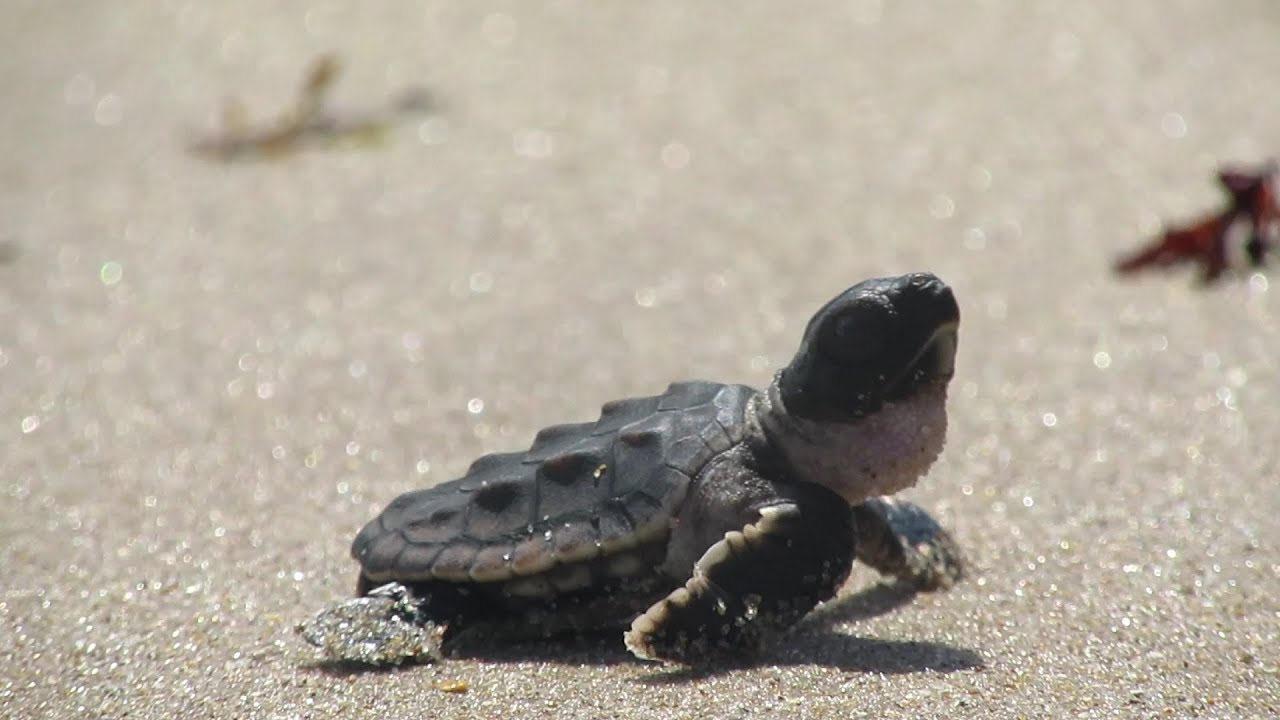 Baby Sea Turtle Beach After Hurricane Irma Youtube