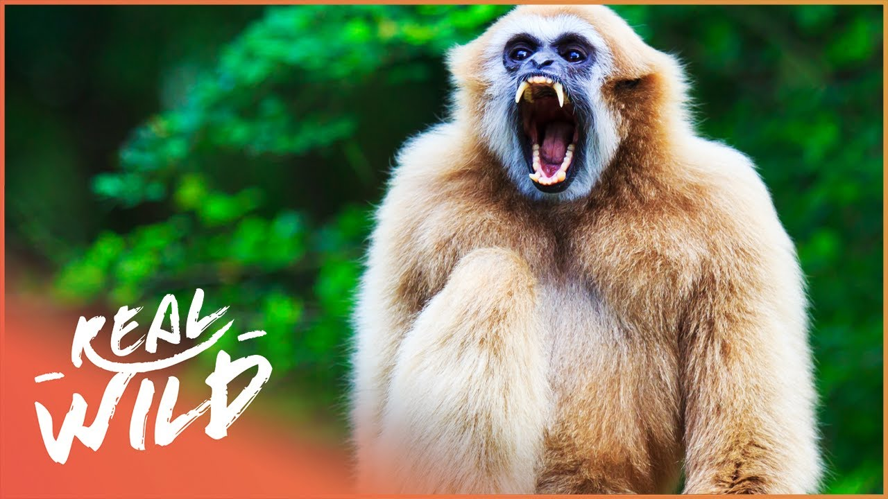 Gibbons: The Forgotten Apes In Peril (Wildlife Documentary)   Real Wild
