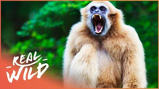 Gibbons: The Forgotten Apes In Peril (Wildlife Documentary) | Real Wild