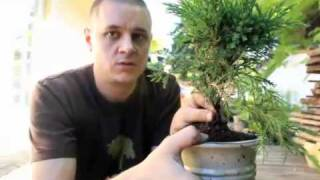 Bonsai Basics part one juniper re potting.