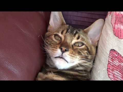Benji the Bengal Cat: from Kitten to Adulthood