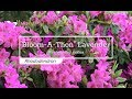 30 Seconds with Bloom-A-Thon® Lavender Reblooming Azalea