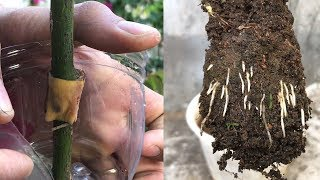 Propagation rose quickly thanks to banana peel | The effect of banana peel