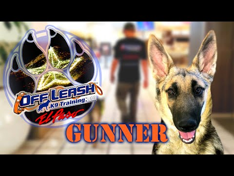 5mo German Shepherd Gunner Best Dog Trainer El Paso Tx Youtube