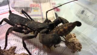 Vinegaroon murders a cockroach