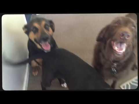 Advanced Door Manners | Standard Schnauzer | Amazing Georgia Dog Trainers