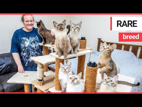 Cat breeder makes a £12,000 loss on her passion | SWNS TV