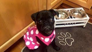 Puppy Potty Training + Indoor Pad   idylle♡doll