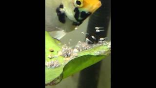 Angelfish fries attempting their first swim