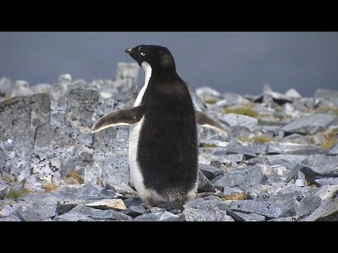 Antarctica's disappearing penguins reveal impact of climate change