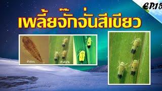 เพลี้ยจักจั่นสีเขียว (green rice leafhopper)