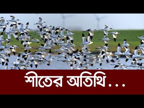 ১০ হাজার মাইল পাড়ি দিয়ে আসে ওরা...    Migratory Birds    Jahangirnagar University