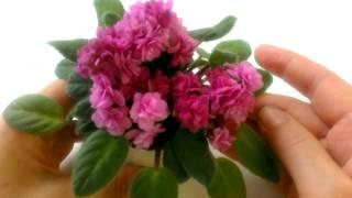 Orchards Pink Chiffon. Фиалка мини-трейлер.