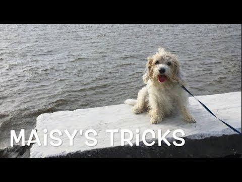 PBGV does 32 dog tricks!