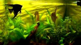 Design Aquarium 5 -aquarium With Angelfish And Discus
