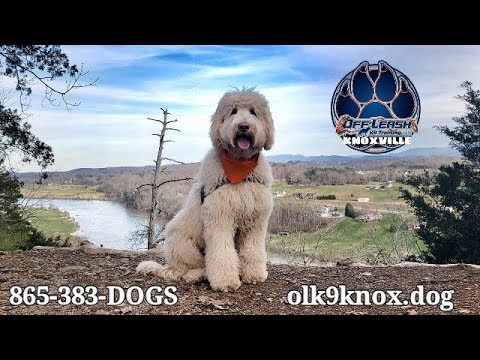 Knoxville Dog Trainers - 7 Month Old Australian Labradoodle Becomes a Southern Lady