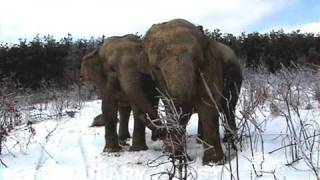 The Elephant Sanctuary | Elephants in the Snow