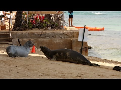 Waikiki Hawaiian Monk Seals Rocky and Kaiwi Fight For Beach Space