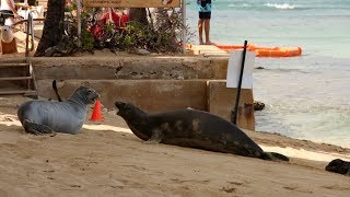Waikiki Hawaiian Monk Seals Rocky and Kaiwi Fight For Beach Space