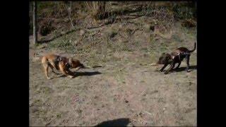Staffordshire Bull Terriers - Training Video #2