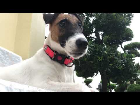 Ezio's Vlog (smooth fox terrier puppy)