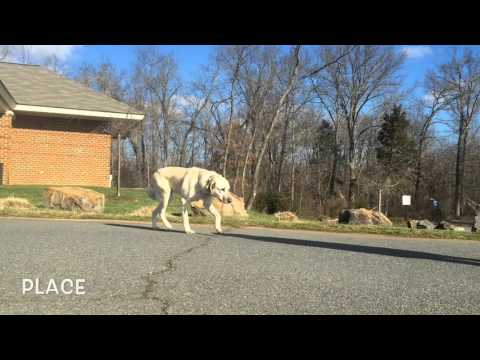 Shy/Dog Aggressive Anatolian Shepherd, Gunnar!  Dog Trainers in Virginia | Virginia K9