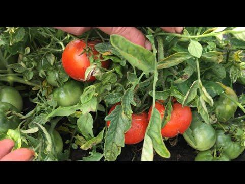 Какой он? МОНГОЛЬСКИЙ КАРЛИК. Урожайный сорт томатов