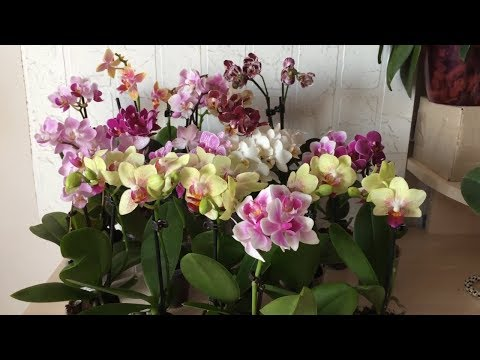 Продажа орхидей мини фаленопсисов. Бронирование в альбоме в ВК. Ссылка в описании к видео.