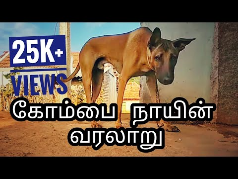 Kombai dog history in tamil | Indian pitbull