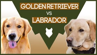 LABRADOR VS GOLDEN RETRIEVER! What's the Difference!?