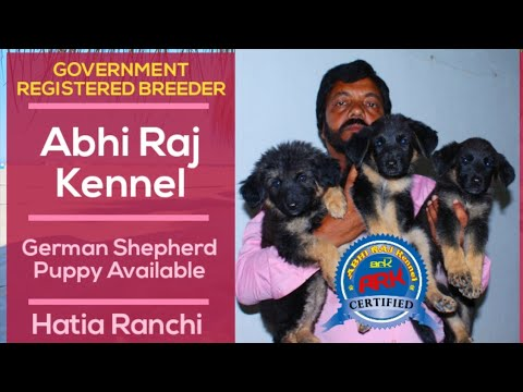 german-shepherd-puppy-available-in-ranchi-jharkhand