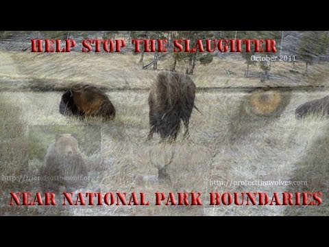 YELLOWSTONE WOLVES, BISON, AND GRIZZLIES TARGETED