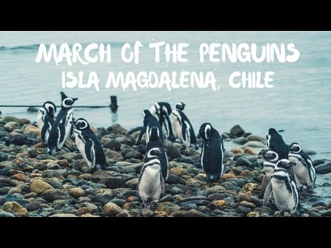 March of the Penguins, Isla Magdalena, Punta Arenas, Chile
